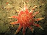 Common sunstar - Polly Whyte - earthinfocus