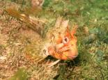Tompot blenny - Polly Whyte - earthinfocus