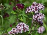 Wild marjoram - northeastwildlife.co.uk