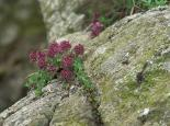 Wild thyme - northeastwildlife.co.uk