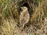 Woodlark - The Berks, Bucks & Oxon Wildlife Trust