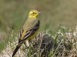 Yellow wagtail - Karen Summers