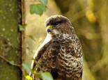 Common buzzard - Steve Waterhouse