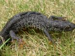 Male great crested newt - Philip Precey