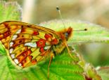 Pearl-bordered Fritillary © MWT/Tammy Stretton