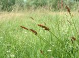 true fox sedge