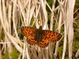 Small Pearl-bordered Fritillary copyright Philip Precey