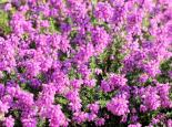Bell heather in flower