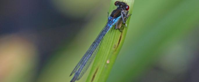 Red-eyed damselfly (credit Alastair Rae) - Alistair Rae
