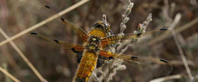 Four-Spotted Chaser Dragonfly - © Mike Waite