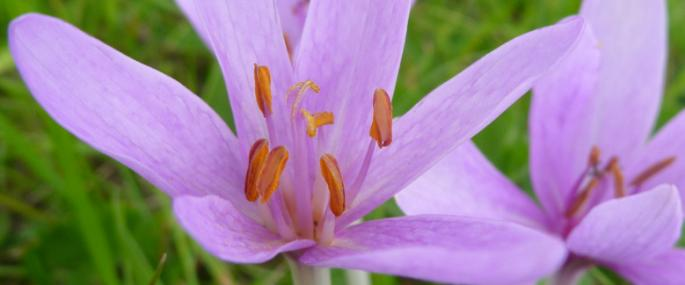 Autumn Crocus at Llanmerewig Glebe Montgomeryshire Wildlife Trust Nature Reserve - © MWT