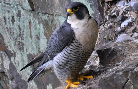 Male peregrine - Steve Waterhouse - Steve Waterhouse