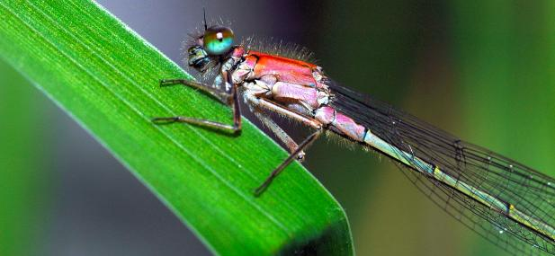 Blue-tailed damselfly - Steve Waterhouse - Steve Waterhouse
