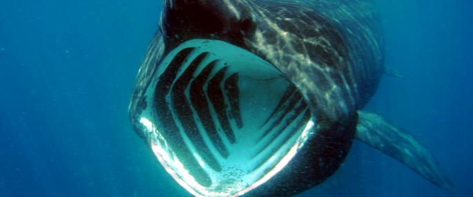 basking shark cornwall wildlife trust