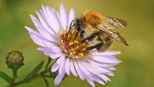 Common carder bee on aster - Rachel scopes - Rachel scopes