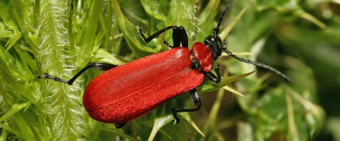 Cardinal Beetle at Howe Ridding Wood - Joe Murphy