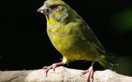 Male greenfinch - Gillian Day - Gillian Day