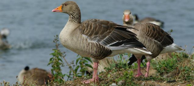 The greylag is the ancestor of domesticated geese - Gillian Day - Gillian Day