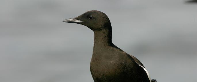 Black guillemot - Tom Marshall - Tom Marshall