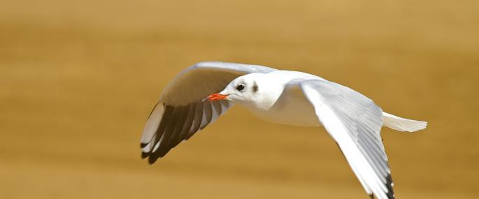 Black-headed gull in winter plumage - Neil Aldridge - Neil Aldridge