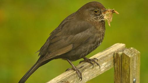 Female blackbird collecting nesting material - Steve Waterhouse - Steve Waterhouse