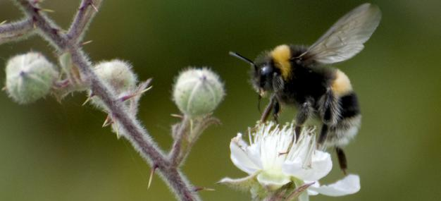 White-tailed bumblebee on bramble - Zsuzsanna Bird - Zsuzsanna Bird