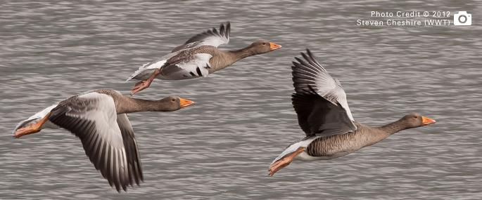 Greylag Geese at Brandon Marsh Nature Reserve and Visitors Centre - Steven Cheshire (WWT) 2012
