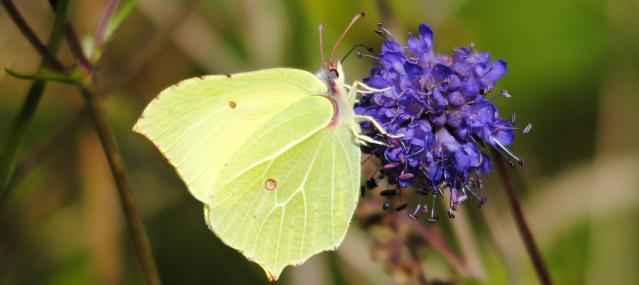 Brimstone butterfly feeding on field scabious - Amy Lewis - Amy Lewis