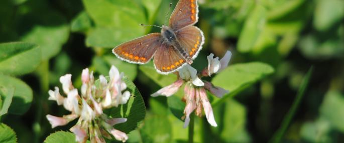 Brown argus butterfly on clover - Amy Lewis - Amy Lewis