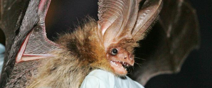 Brown long-eared bat - Simon West - Simon West