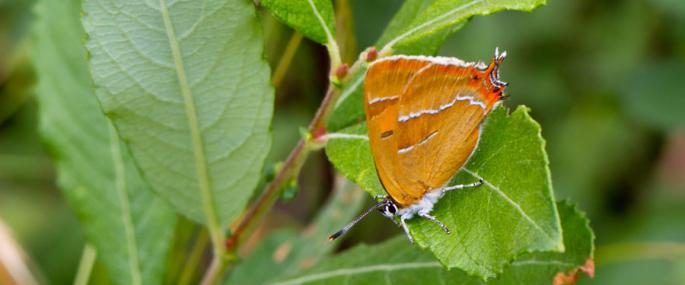 Brown hairstreak - Pete Smith - Pete Smith