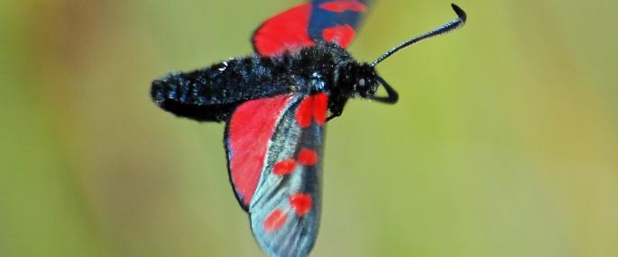 Six-spot burnet in flight - Bob Coyle - Bob Coyle