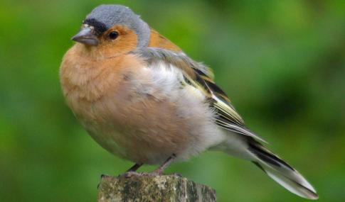 Male chaffinch - Gillian Day - Gillian Day