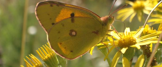 Clouded yellow butterfly - Andrew Kerr - Andrew Kerr