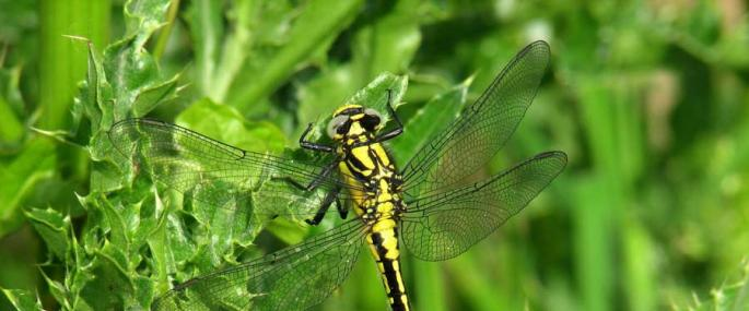 Female Club-tailed Dragonfly - Mike Averill - Mike Averill