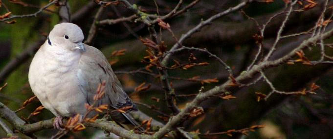 Collared dove roosting - Ian Rose - Ian Rose