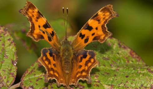 Comma butterfly - David Londshaw - David Londshaw
