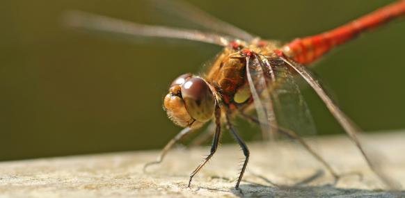 Male common darter dragonfly - Rachel Scopes - Rachel Scopes