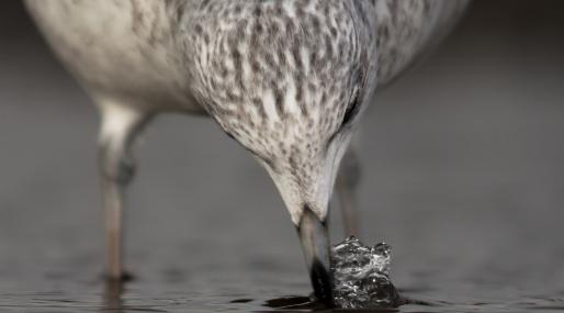 Common gull feeding - Jamie Hall - Jamie Hall
