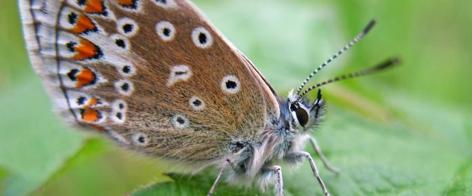 The underside of the common blue butterfly  - Rachel Scopes - Rachel Scopes