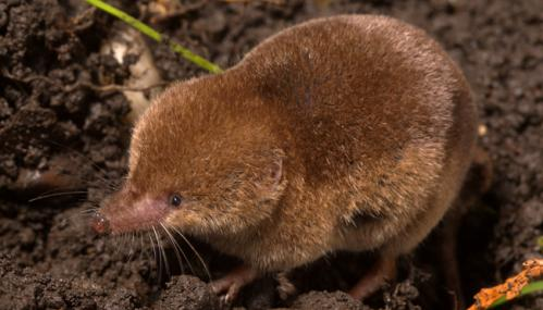 Common shrew - Paul Adams - Paul Adams