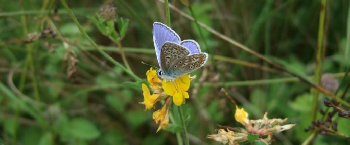 Common blue on bird's-foot trefoil - Ann Fells