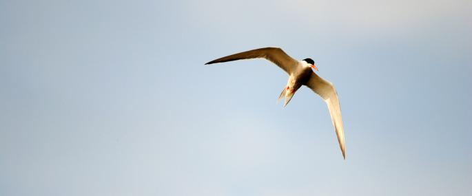 Common tern in flight - Amy Lewis - Amy Lewis