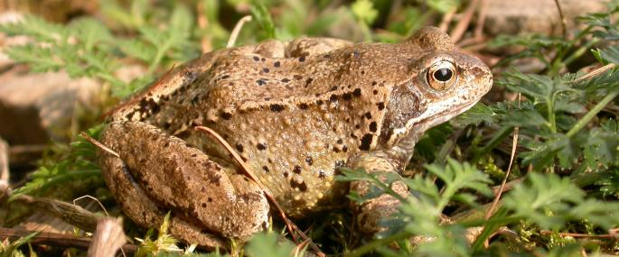 Common frog - Philip Precey - Philip Precey