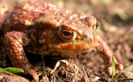 Common toad - Philip Precey - Philip Precey