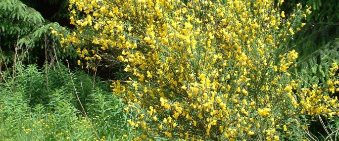 Broom in flower - Neil Wyatt - Neil Wyatt