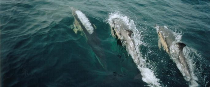 A pod of common dolphins - Cornwall WT - Cornwall WT