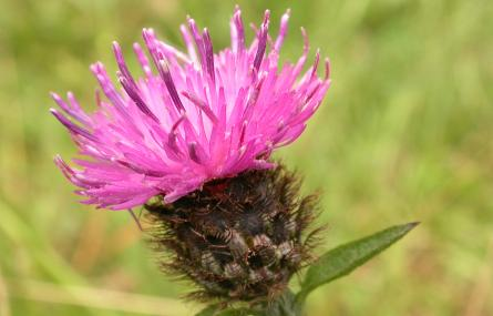 Common knapweed - Philip Precey - Philip Precey