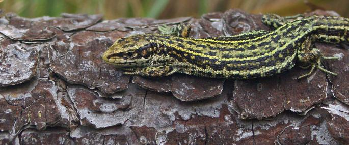 Common lizard basking - Neil Aldridge - Neil Aldridge