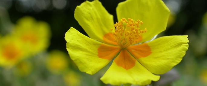 Common rock rose - Philip Precey - Philip Precey